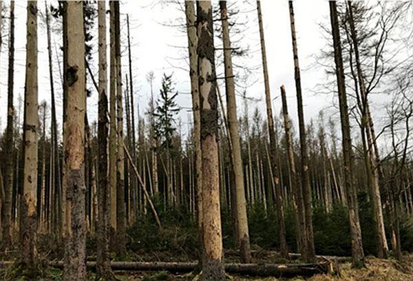 Abetos infestados e mortos por escaravelhos na região de Triglav, Eslovênia, 2020. (Foto: Henrik Hartmann)