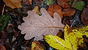 Leaf litter: oak, beech and acer (Photo: Angela Günther)